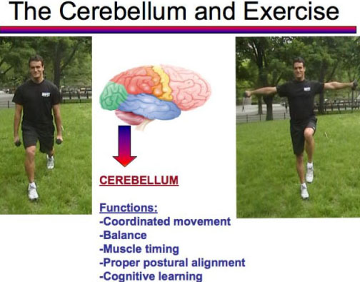 Cerebellum and Exercise