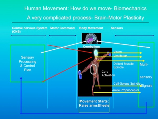Biomechanics and physical movement